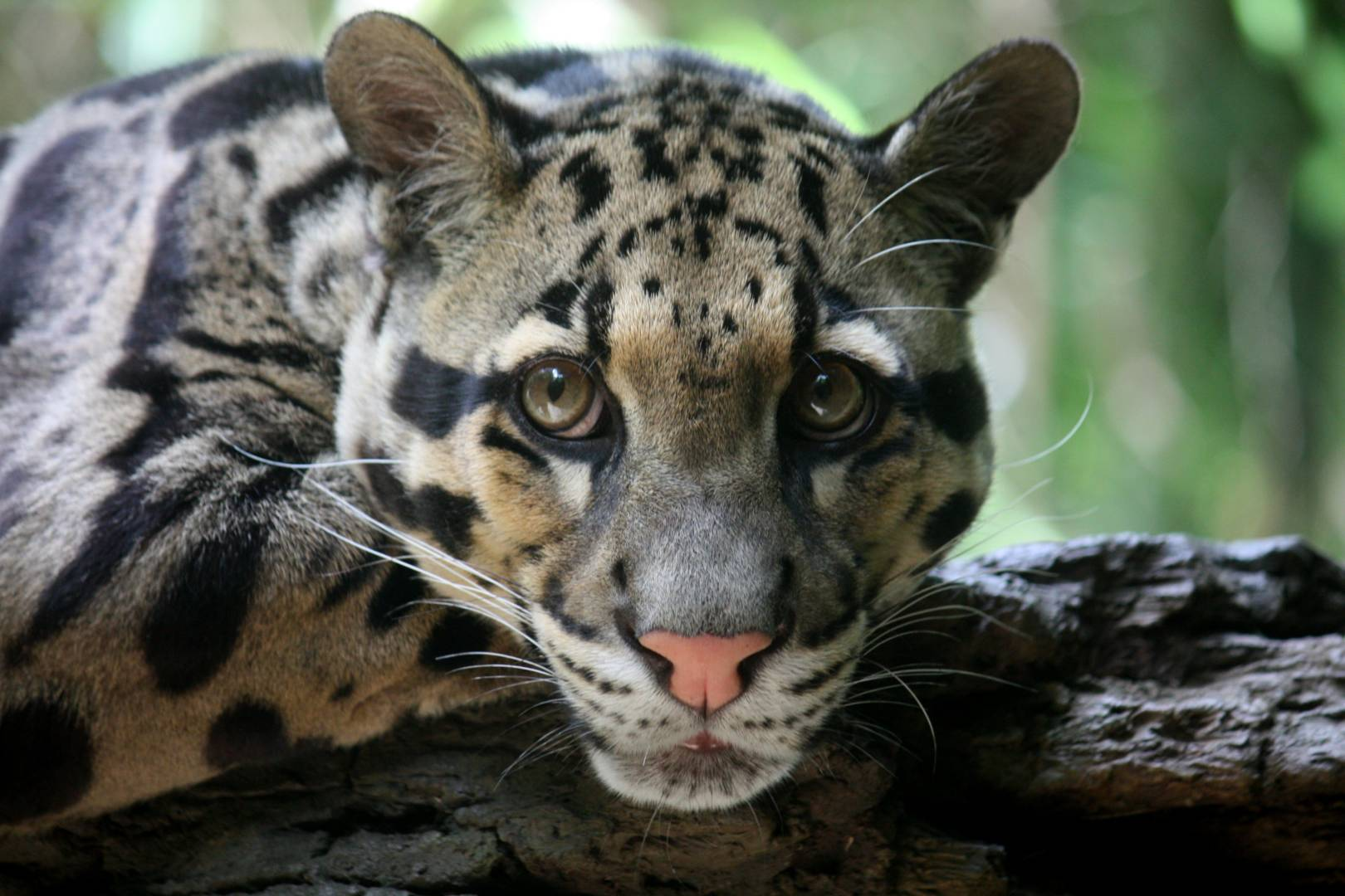 International Clouded Leopard Day Tue Aug 4th, 2020 ...